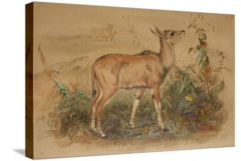 Young Eland-Joseph Wolf-Stretched Canvas Print