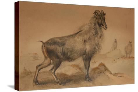 Thar-Joseph Wolf-Stretched Canvas Print