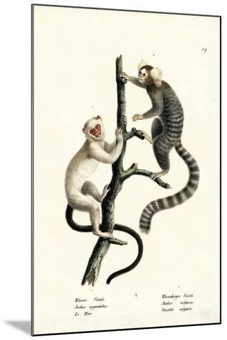 Common Marmoset, 1824-Karl Joseph Brodtmann-Mounted Giclee Print