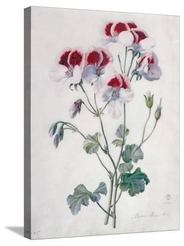Crane's Bill- Marie-Anne-Stretched Canvas Print
