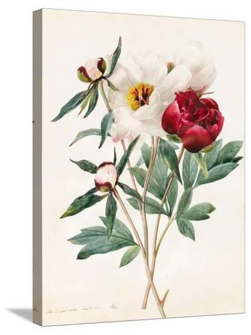 Red and White Herbaceous Paeonies, 1829 (W/C with Some Bodycolour on Vellum)-Louise D'Orleans-Stretched Canvas Print