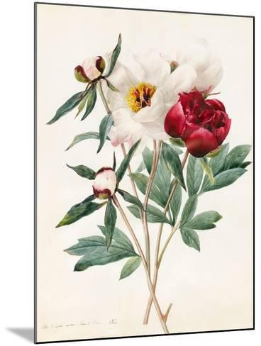 Red and White Herbaceous Paeonies, 1829 (W/C with Some Bodycolour on Vellum)-Louise D'Orleans-Mounted Giclee Print