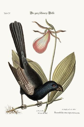 The Razor-Billed Black-Bird of Jamaica, 1749-73-Mark Catesby-Stretched Canvas Print