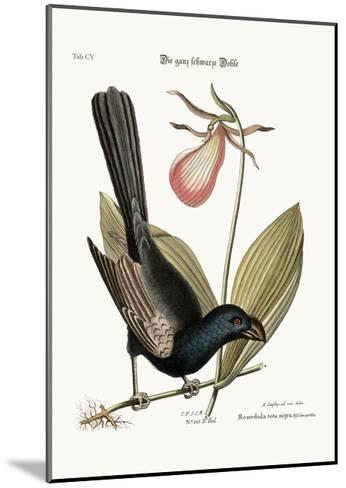 The Razor-Billed Black-Bird of Jamaica, 1749-73-Mark Catesby-Mounted Giclee Print