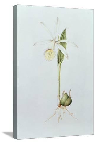 Pleione Formosana Alba-Mary Kenyon-Slaney-Stretched Canvas Print