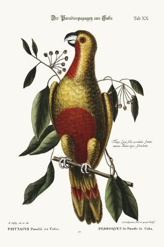 The Parrot of Paradise of Cuba, 1749-73-Mark Catesby-Stretched Canvas Print