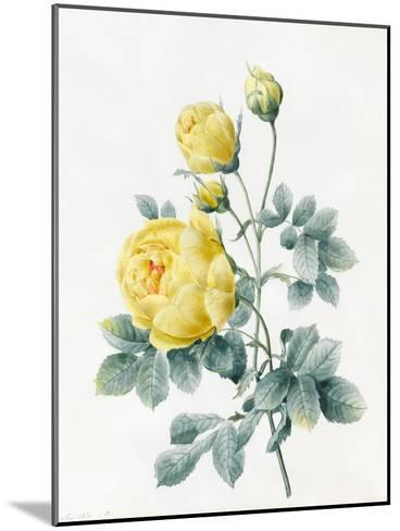 Yellow Roses, 1827-Louise D'Orleans-Mounted Giclee Print