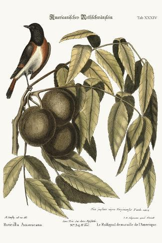 The Redstart, 1749-73-Mark Catesby-Stretched Canvas Print