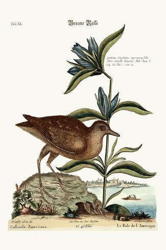 The Soree, 1749-73-Mark Catesby-Stretched Canvas Print