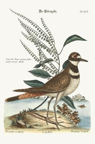 The Chattering Plover, 1749-73-Mark Catesby-Stretched Canvas Print