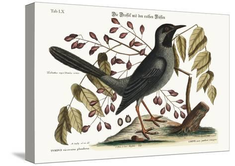 The Red-Legged Thrush, 1749-73-Mark Catesby-Stretched Canvas Print