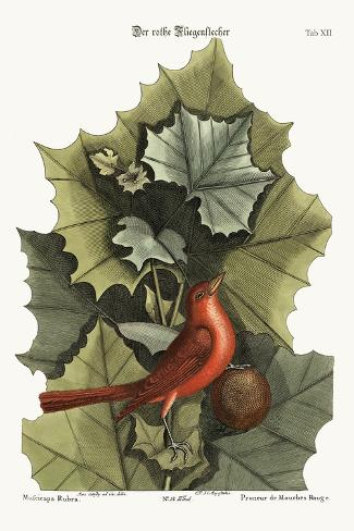 The Summer Red-Bird, 1749-73-Mark Catesby-Stretched Canvas Print