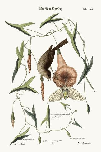 The Little Sparrow, 1749-73-Mark Catesby-Stretched Canvas Print