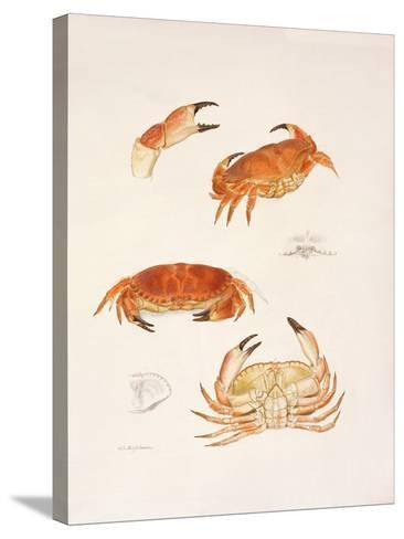 Crabs, 1986-Mary Clare Critchley-Salmonson-Stretched Canvas Print