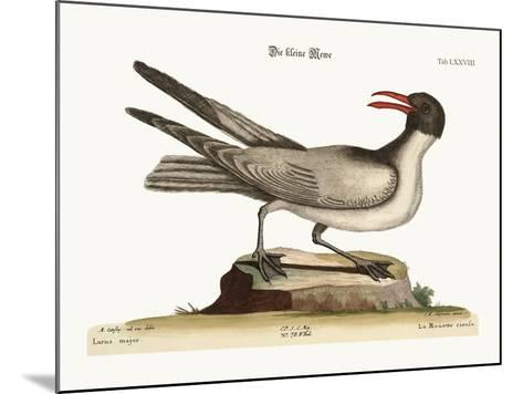 The Laughing Gull, 1749-73-Mark Catesby-Mounted Giclee Print