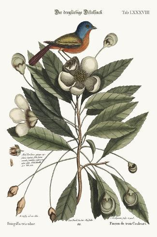 The Painted Finch, 1749-73-Mark Catesby-Stretched Canvas Print