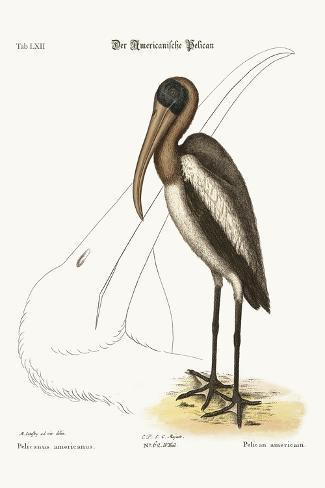 The Wood Pelican, 1749-73-Mark Catesby-Stretched Canvas Print