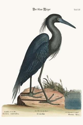 The Blue Heron, 1749-73-Mark Catesby-Stretched Canvas Print