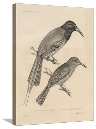1. Meropogan Breweri and 2. Meropiscus Mulleri, Litho by J.T. Bowen, 1850-Otto Koehler-Stretched Canvas Print