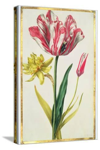 Daffodil and Tulip, C.1675-Nicolas Robert-Stretched Canvas Print