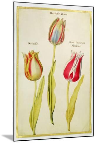 Tulips, C.1675-Nicolas Robert-Mounted Giclee Print