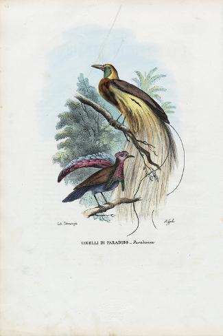 Bird of Paradise, 1863-79-Raimundo Petraroja-Stretched Canvas Print