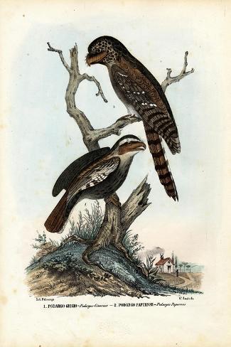 Papuan Frogmouth, 1863-79-Raimundo Petraroja-Stretched Canvas Print