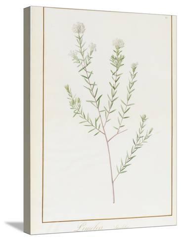 Pimelea Linifolia, 1812-Pierre Joseph Redoute-Stretched Canvas Print