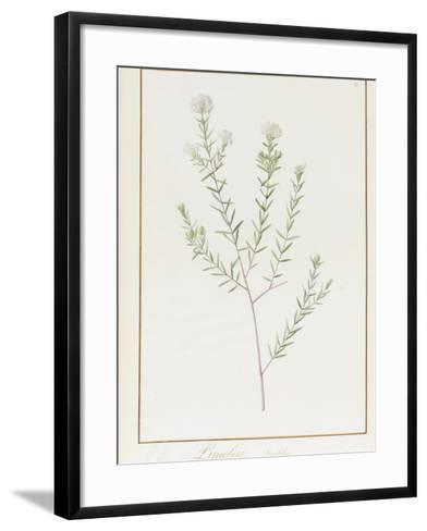 Pimelea Linifolia, 1812-Pierre Joseph Redoute-Framed Art Print