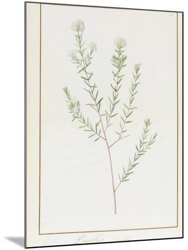 Pimelea Linifolia, 1812-Pierre Joseph Redoute-Mounted Giclee Print