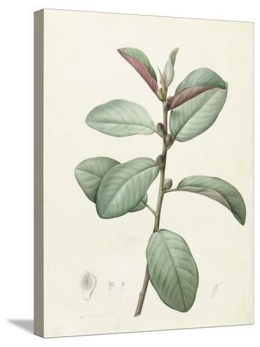 Ficus Rubeginosa-Pierre Joseph Redoute-Stretched Canvas Print