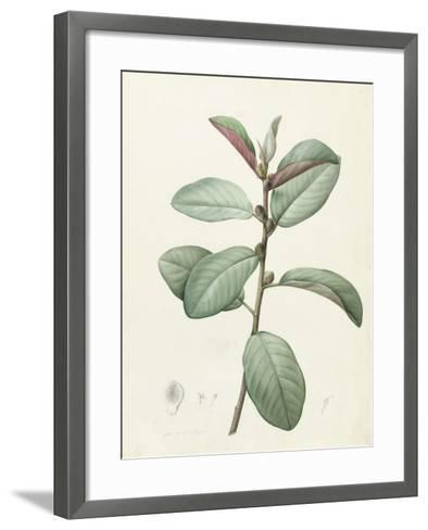Ficus Rubeginosa-Pierre Joseph Redoute-Framed Art Print