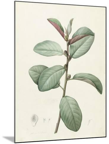 Ficus Rubeginosa-Pierre Joseph Redoute-Mounted Giclee Print