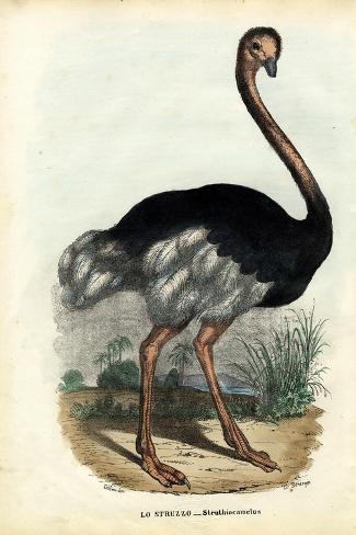 African Ostrich, 1863-79-Raimundo Petraroja-Stretched Canvas Print