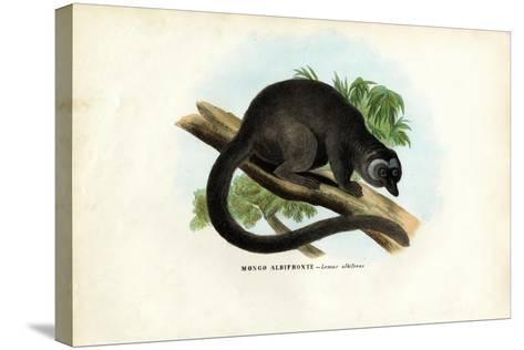 White-Headed Brown Lemur, 1863-79-Raimundo Petraroja-Stretched Canvas Print