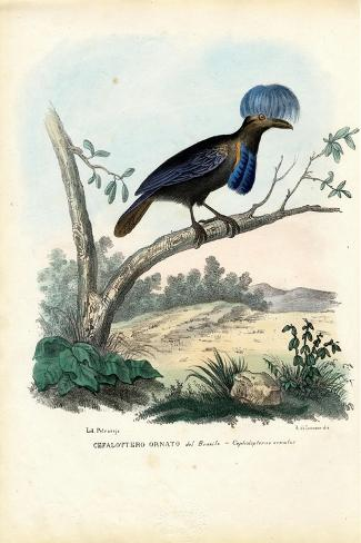 Amazonian Umbrellabird, 1863-79-Raimundo Petraroja-Stretched Canvas Print
