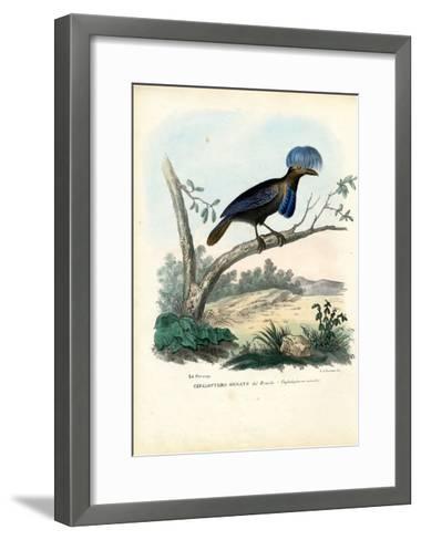 Amazonian Umbrellabird, 1863-79-Raimundo Petraroja-Framed Art Print