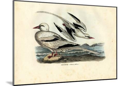Red-Billed Tropicbird, 1863-79-Raimundo Petraroja-Mounted Giclee Print