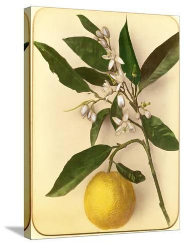 Lemon, 1870s-Pietro Guidi-Stretched Canvas Print
