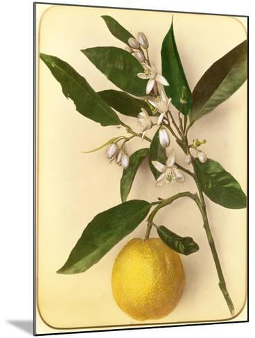 Lemon, 1870s-Pietro Guidi-Mounted Giclee Print
