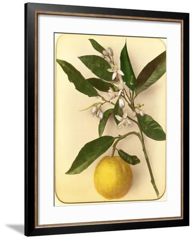 Lemon, 1870s-Pietro Guidi-Framed Art Print