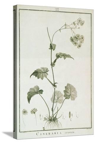 Cineraria Cruenta, from 'Sertum Angelicum', Published 1788-Pierre Joseph Redoute-Stretched Canvas Print