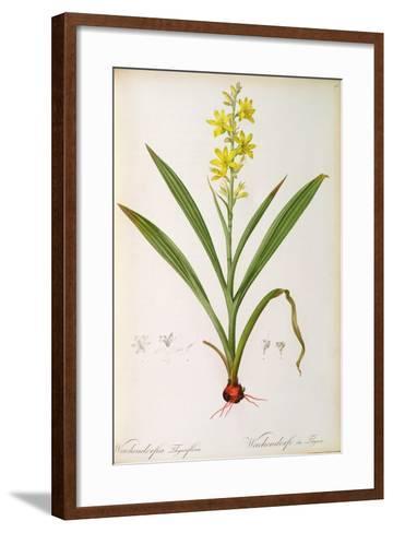 Wachendorfia Thyrsiflora, from 'Les Liliacees', C.1805-Pierre Joseph Redoute-Framed Art Print