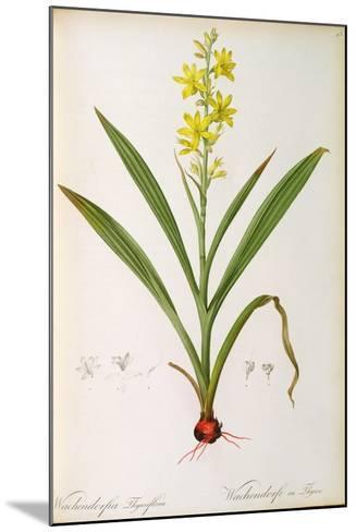Wachendorfia Thyrsiflora, from 'Les Liliacees', C.1805-Pierre Joseph Redoute-Mounted Giclee Print