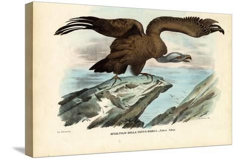Griffon Vulture, 1863-79-Raimundo Petraroja-Stretched Canvas Print