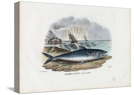 Atlantic Mackerel, 1863-79-Raimundo Petraroja-Stretched Canvas Print