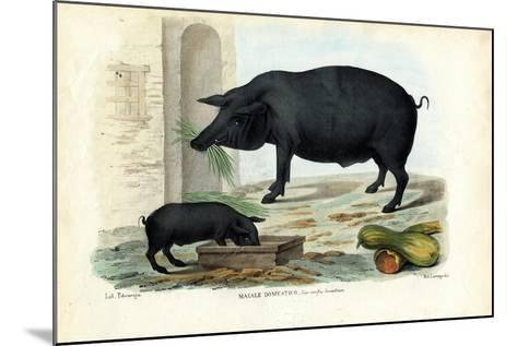 Domestic Pig, 1863-79-Raimundo Petraroja-Mounted Giclee Print