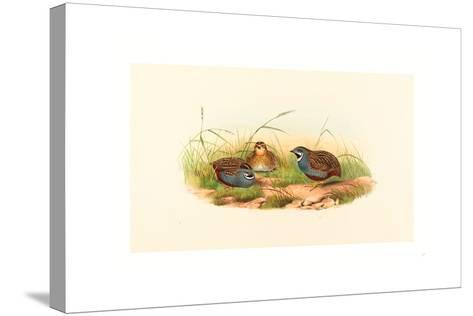Excalftoria Minima (Blue-Breasted Quail), Colored Lithograph- Richter & Gould-Stretched Canvas Print