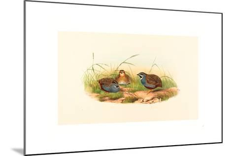 Excalftoria Minima (Blue-Breasted Quail), Colored Lithograph- Richter & Gould-Mounted Giclee Print