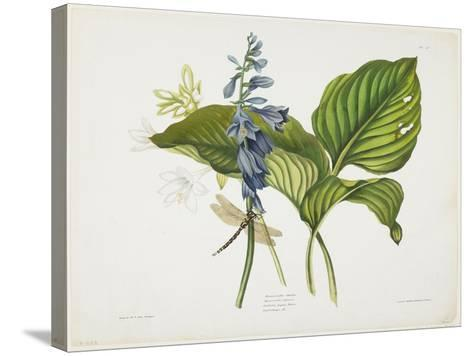 Common Hostas and English Dragon Fly-Robert The Younger Havell-Stretched Canvas Print